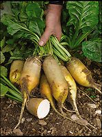 BNPS.co.uk (01202 558833)<br /> Pic: SuttonSeeds/BNPS<br /> <br /> ***Please use full byline***<br /> <br /> An unusual variety of beetroot that won't stain clothes could revolutionise salads and sandwiches - because it is a pale yellow instead of purple.<br /> <br /> The beetroot, known as a Yellow Cylindrical, is so called because of its eye catching skin and white centre and could rival its bright counterpart this year, as people may try to avoid the mauve juices that cause dark stains that are difficult to remove.<br /> <br /> It tastes similar to the mauve root vegetable but is thought to be slightly sweeter with a stronger flavour.<br /> <br /> The Yellow Cylindrical - Beta vulgaris in Latin - is now being sold at &pound;1.49 for 200 seeds by Dobies of Devon who got the seeds from a Polish supplier after seeing how popular they were.<br /> <br /> It can be grown in gardens across the UK and should be planted in the ground between March and June, and harvested between July and December.