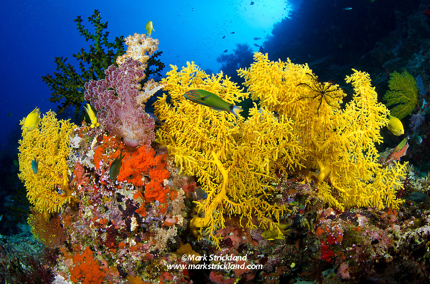 Crescent Wrasse, Thalassoma lunare, and Golden Damselfish, Stegastes aureus, surrounded by vibrant soft corals. Vatu-i-ra, Bligh Water, Fiji, Pacific Ocean