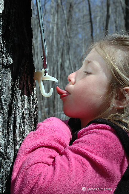 Little girl catching drips of sugar maple sap from a spout