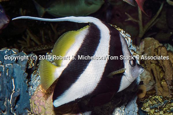 Longfin bannerfish swimming right