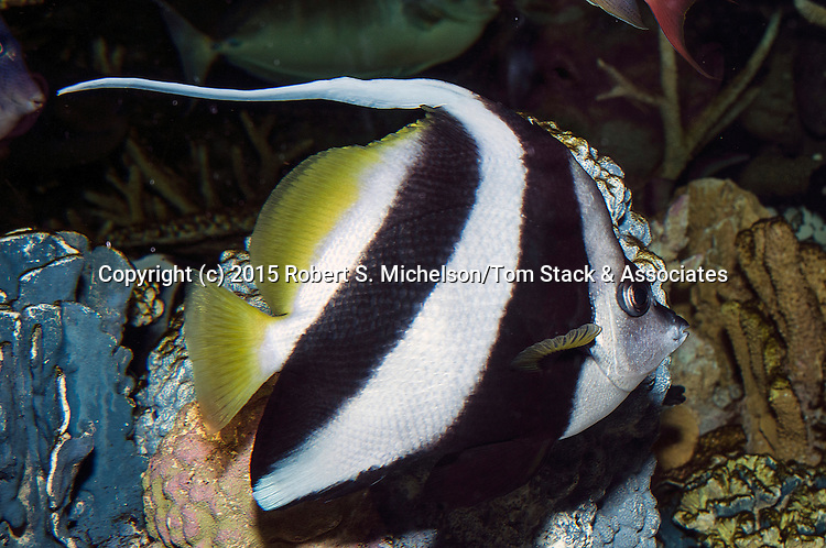Longfin bannerfish swimming right