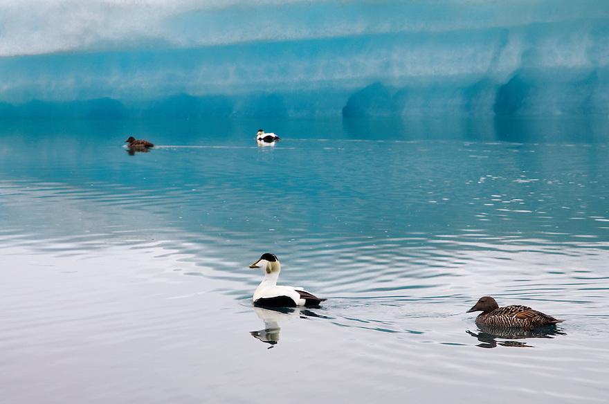 10.06.2008.Common eider (Somateria mollissima) male and female.Jökulsárlón glacial lagoon.Iceland