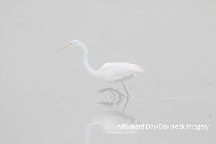 00688-02212 Great Egret (Ardea alba) in wetland in fog, Marion Co., IL