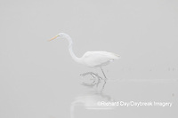 00688-02212 Great Egret (Ardea alba) in wetland in fog, Marion Co., IL
