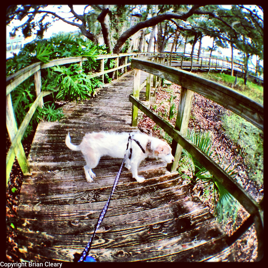 A terrier dog on a wooden walkway in Florida, iPhone photo from the instagram photostream of bcpix, Florida-based freelance photographer Brian Cleary. (Photo by Brian Cleary/ www.bcpix.com)