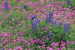 Texas Bluebonnet (Lupinus subcarnosus) flowers among Phlox, Texas, USA.