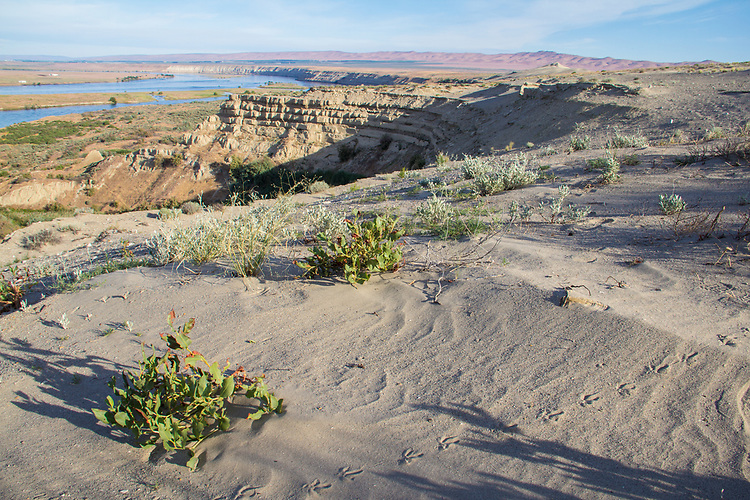Hanford Reach National Monument, White Bluffs, Wahluke Slope, Columbia River, bird tracks, wildlife, Columbia Basin, eastern Washington, Washington State, Pacific Northwest, USA, North America,
