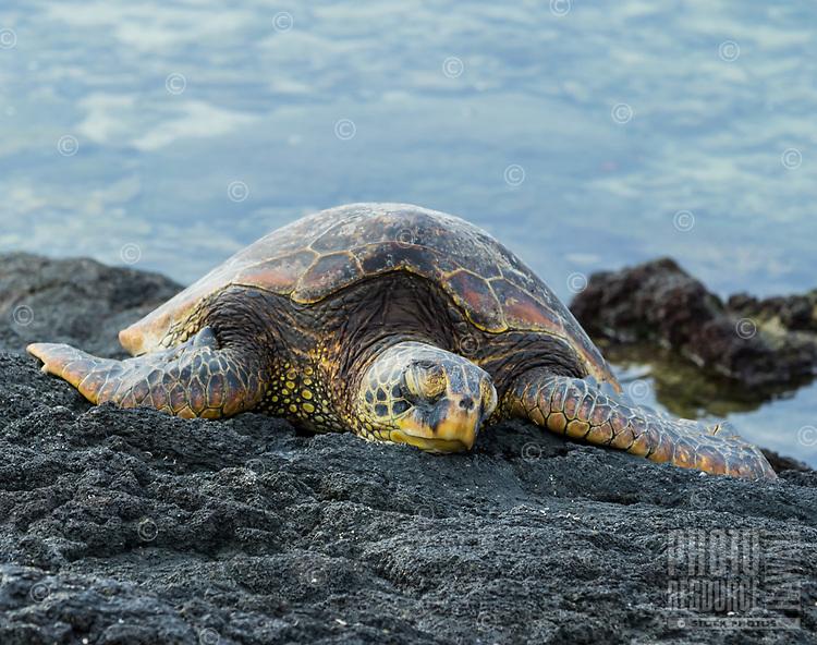 Reef Lounger: A Hawaiian green sea turtle lounges peacefully on a reef ledge in Puako, Big Island.