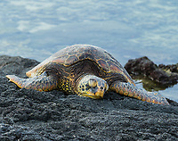 Reef Lounger: A Hawaiian green sea turtle lounges peacefully on a reef ledge in Puako, Big Island.