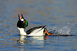 Common Goldeneye courtship display.