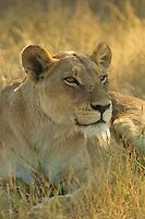 Close up head shot of a lion resting in the Okavango Delta, Botswana Africa.
