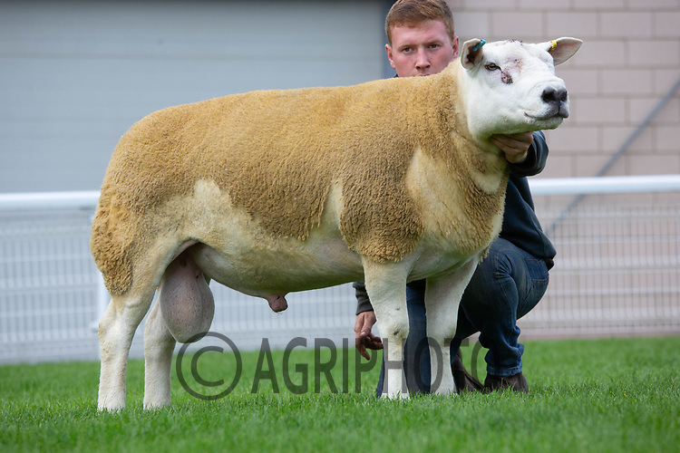 N.S.A Wales & Border Ram Sales, Royal Welsh Showgound<br /> Lot 2728 Owned by W O & P E Reed sold for 5000gns<br /> ©Tim Scrivener Photographer 07850 303986<br />      ....Covering Agriculture In The UK....