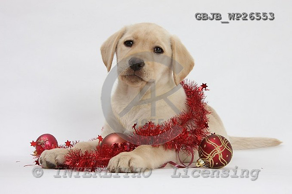 Kim, CHRISTMAS ANIMALS, photos, GBJBWP26553,#xa# stickers