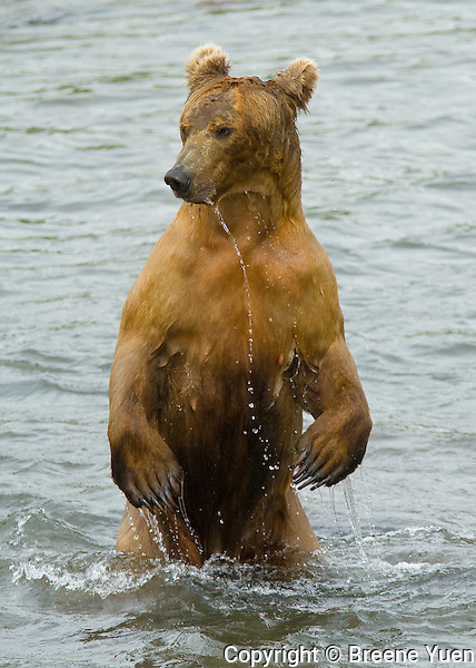 A Grizzly Bear stands in a river, scanning for Salmon