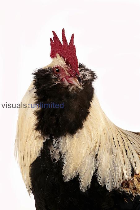 Faverolle male domestic chicken.