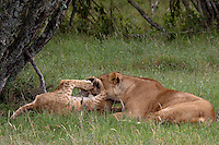 Lioness and cub, Sweetwaters Game Reserve, Kenya