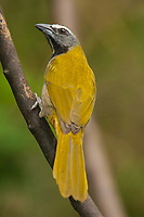 Buff-throated Saltator, Saltator maximus