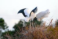 Wood Storks building a nest. Photographed at Wakodahatchee Wetlands, Delray Beach, Florida.