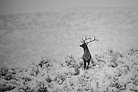 A bull elk keeps a wary eye open for danger on a snowy winter day.