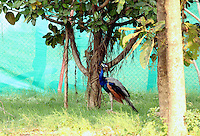 Peacock standing under a tree in the farm.