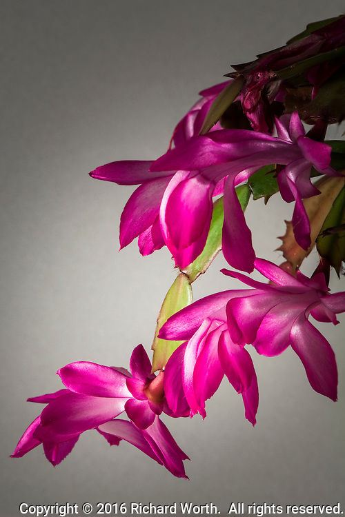 Multiple Thanksgiving cactus blossoms glow with brilliant color.