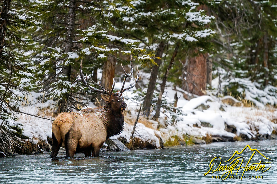 A Bull Elk in the Madison River of Yellowstone National Park.