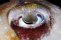 The eye of a Papuan cuttlefish, Sepia papuensis, Tulumben, Bali, Indonesia,