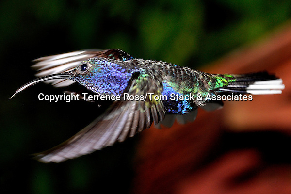 violet sabrewing, Campylopterus hemileucurus,  hummingbird, Costa Rica. Range Mexico to Panama.