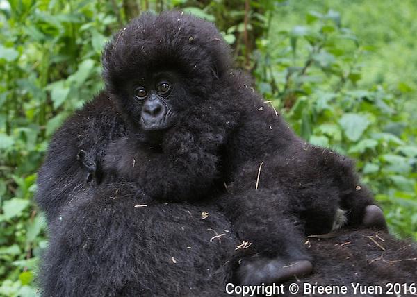 Gorilla Baby Riding Mom Rwanda 2015
