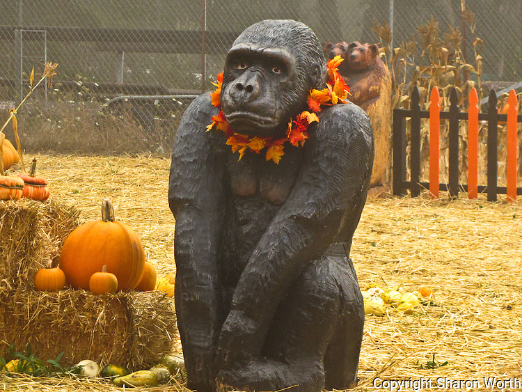A carved gorilla sits and waits in the early morning mist till the gates open and he'll be surrounded by kids scampering to pick out soon-to-be jack-o'-lanterns.