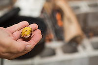 Fairmount Park maintainence worker and FOW volunteer Steve Okula peeled a fire-roasted chestnut to see if they were ready to eat. (Dave Tavani/for NewsWorks)