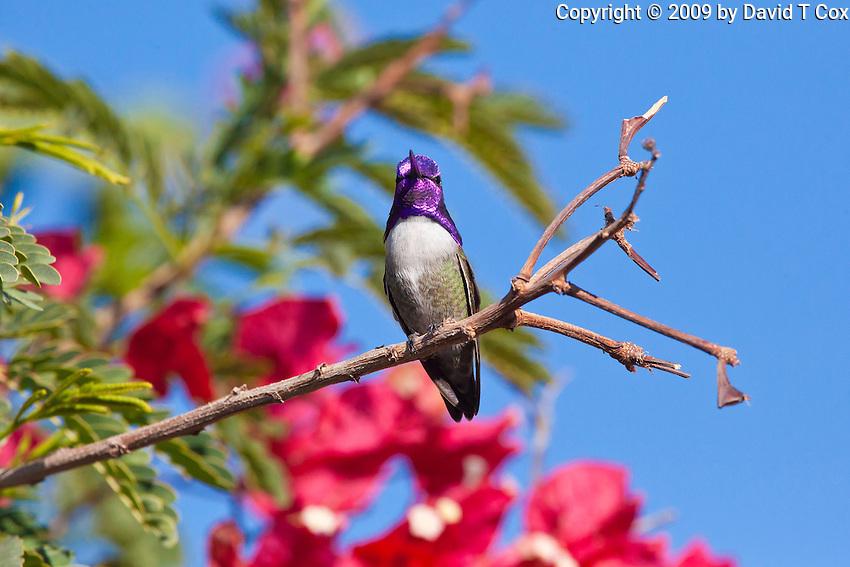 Costa's Hummingbird, San Ignacio, Baja Sur, Mexico