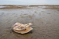 Pazifische Auster, Pazifische Felsenauster, Pazifische Zuchtauster, Japanische Auster, Portugiesische Auster, Crassostrea gigas, Crassostrea pacifica, Crassostrea angulata, Magallana gigas, Schale, Muschelschale am Strand, Spülsaum, Pacific oyster, Japanese oyster, Miyagi oyster, Pacific cupped oyster, Portuguese oyster, Huître creuse du Pacifique