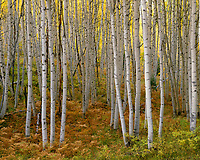 CORC 051 -   Autumn colors a grove of quaking aspen (Populus tremuloides) and forest understory, near Kebler Pass, Gunnison National Forest, Colorado, USA --- (4x5 inch original, File size: 7682x6000, 132.2mb uncompressed)