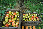 Making apple juice from the Bramleys.   Tinker's Bubble, Low impact community,  Somerset