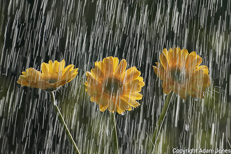 Raindrops falling on Gerber Daisy