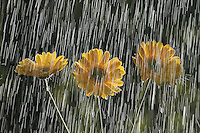 Raindrops falling on Gerber Daisy