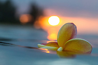 A plumeria floats in the ocean at sunset, Hawai'i.