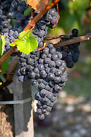 Bunches of ripe grapes. Chateau Cantenac Brown, Margaux, Medoc, Bordeaux, France