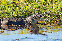 Estuarine Crocodile, Yellow Water, Kakadu NP, NT, Australia