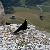 Un esemplare di Gracco alpino (Pyrrhocorax Graculus) fotografato sulle Dolomiti...An exemplar of Yellow-billed Chough (Pyrrhocorax Graculus) photographed on the Dolomites.
