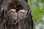 A photo of great horned owl chicks.