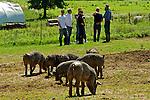 Amish Berkshire Pig Farm Dixon MO