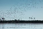 Thousands of snow geese land on the waters of the Chincoteague National Wildlife Refuge on Assateague Island, Virginia.  Flying in formation, they land in a spectacular spiral pattern reminiscent of a tornado.