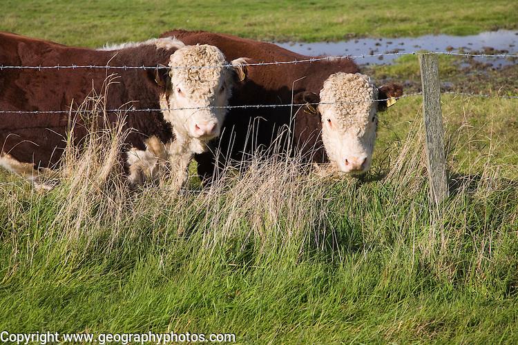 Hereford cattle calves grazing in wetland marshland Boyton Marshes, Suffolk, England