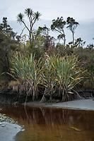 Coastal vegetation at Gillespies Lagoon, Westland Tai Poutini National Park, UNESCO World Heritage Area, South Westland, New Zealand, NZ