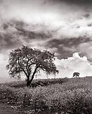 USA, California, Napa County, vineyard and oak trees, Hwy 101 (B&W)