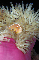 clownfish photos