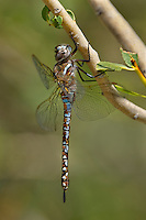 339570001 a wild male paddle-tailed darner aeschna palmata perches on a plant stem along big pine creek at about 8,000 feet in central inyo county california united states