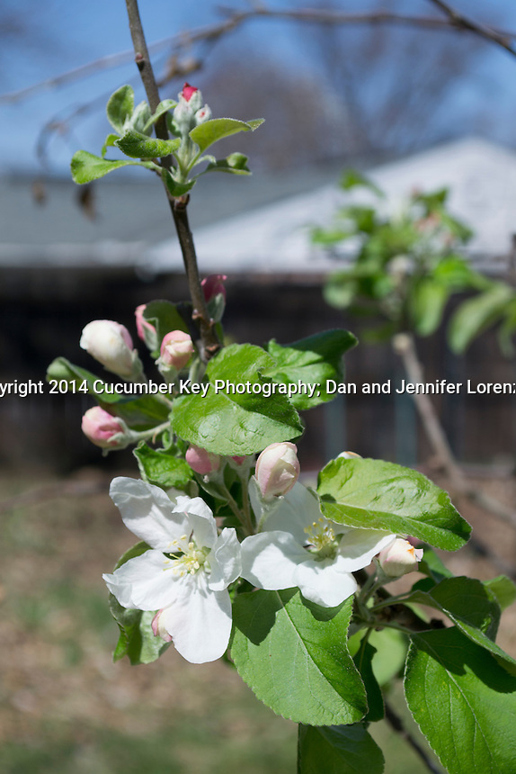 Spring brings blossoms to a dwarf Granny Smith apple tree being grown in a container.